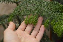 Araucaria - hem- gran-träd! Royaltyfria Foton