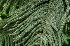 Araucaria Heterophylla In Botanical Garden. Nature. Plant Stock Photo