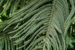 Araucaria Heterophylla In Botanical Garden. Nature. Plant Stock Photo