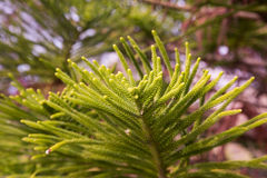 Araucaria heterophylla braches. Close-up of evergreen tree araucaria heterophylla branches with small needles Royalty Free Stock Photography