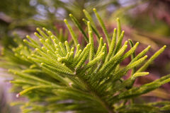 Araucaria heterophylla braches. Close-up of evergreen tree araucaria heterophylla branches with small needles Stock Images