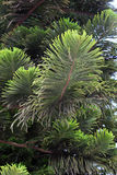Araucaria heterophylla. Fresh green leaves and needles of Araucaria heterophylla Royalty Free Stock Photos