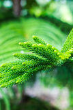 Araucaria heterophylla. Treefavorable thing Green shoot close-up and blur the clear spot Stock Photos