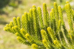 Araucaria heterophylla Leaf, Araucaria  excelsa is a member of t Stock Photo