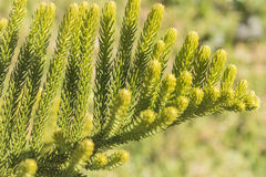 Araucaria heterophylla Leaf, Araucaria  excelsa is a member of t Stock Photography