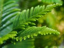 Araucaria heterophylla norfolk island pine. Enveronment concept Stock Photos