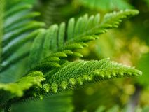 Araucaria heterophylla norfolk island pine. Enveronment concept.green background.nature Stock Photo