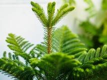Araucaria heterophylla norfolk island pine. Enveronment concept Royalty Free Stock Photos