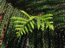 Araucaria Heterophylla, Norfolk Island Pine, Star Pine, Triangle Tree, or Living Christmas Tree Growing in Florida. Stock Images