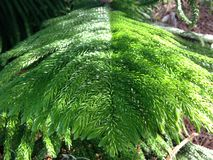 Araucaria Heterophylla, Norfolk Island Pine, Star Pine, Triangle Tree, or Living Christmas Tree Growing in Florida. Royalty Free Stock Photo
