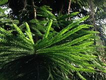 Araucaria Heterophylla, Norfolk Island Pine, Star Pine, Triangle Tree, or Living Christmas Tree Growing in Florida. Araucaria Heterophylla, Norfolk Island Pine Stock Photo