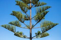 Araucaria heterophylla - Norfolk Island Pine Tree stock image