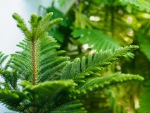 Araucaria heterophylla norfolk island pine. Nature background.environment concept Stock Photography