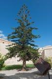 Araucaria heterophylla in Mdina Malta. Araucaria heterophylla Salisb. Franco in Mdina Malta Royalty Free Stock Images