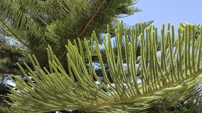 Araucaria heterophylla spring foliage. Norfolk island pine tree fresh spring foliage with symmetric twigs against blue sky background Royalty Free Stock Images