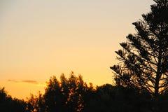 A tree at dawn. Araucaria heterophylla tree at dawn Royalty Free Stock Photography