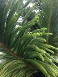 Araucaria Heterophylla Tree with Water Drops after Rain in Miami. Stock Photos