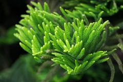 Araucaria heterophyllablad Groene aardachtergrond royalty-vrije stock foto's