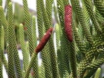 Araucaria - le type d'arbre conifére Photographie stock