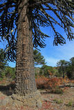 Araucaria, Monkey Puzzle Trees, forest near lake Alumine, Argentina. Araucaria, Monkey Puzzle Trees, forest near lake Alumine, Patagonia Argentina Stock Photos