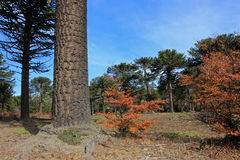 Araucaria, Monkey Puzzle Trees, forest near lake Alumine, Argentina. Araucaria, Monkey Puzzle Trees, forest near lake Alumine, Patagonia Argentina Stock Image