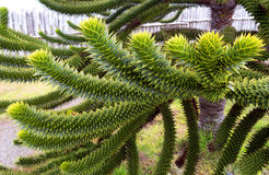 Araucaria. National tree of Chile Stock Photos