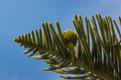 Araucaria needles and cone royalty free stock photo