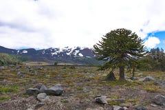 Araucaria nel parco nazionale di ConguillÃo nel Cile Fotografia Stock Libera da Diritti