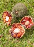 Araucaria pijnboomnoten stock afbeelding