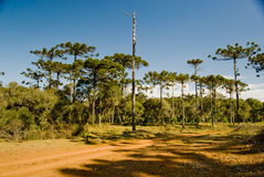 Araucaria Pine Tree. A grove of brazilian pine trees (Araucaria angustifolia - Araucariaceae), typical of Southern Brazil Royalty Free Stock Photos