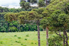 Araucaria Pine Tree. A grove of brazilian pine trees (Araucaria angustifolia - Araucariaceae), typical of Southern Brazil Stock Photos