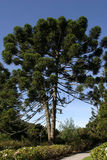 Araucaria pine tree. Araucaria tree contrasting with blue sky Stock Photos