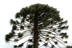 Araucaria pine tree Royalty Free Stock Photos