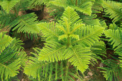 Araucaria pine tree. Top view of Araucaria pine tree Stock Image