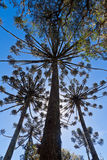 Araucaria Pine Trees. Forming shapes against a blue sky in Rio Grande do Sul, Aparados da Serra, south of Brazil Stock Photos