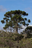 Araucaria Pine Trees. A tall araucaria pine trees with its distinctive shape contrasting with a blue sky Stock Photography