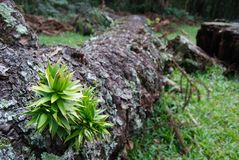 Araucaria sprout. Sprout of brazilian pine tree, Araucaria angustifolia at fallen trunk. A tree threatened of extinguishing by deforestation Stock Images