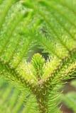 Araucaria stalk Stock Image