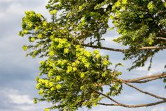 Araucaria in summer in the city of federation, province of entre rios argentina. Green araucaria on sky in summer Stock Image