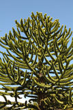 Araucaria, symbol of Chile. Araucaria (Araucaria araucana) trees in Bio bio Park (Chile Royalty Free Stock Photography
