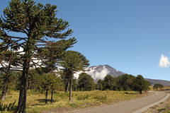 Araucaria, symbol of Chile. Araucaria (Araucaria araucana) trees in Bio bio Park (Chile Stock Images