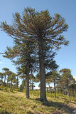 Araucaria, symbol of Chile Stock Image