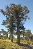Araucaria, symbol of Chile. Araucaria (Araucaria araucana) trees in Bio bio Park (Chile Stock Image