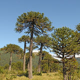Araucaria, symbol of Chile. Araucaria (Araucaria araucana) trees in Bio bio Park (Chile Royalty Free Stock Images