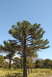 Araucaria, symbol of Chile. Araucaria (Araucaria araucana) trees in Bio bio Park (Chile Stock Photography