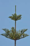 Araucaria tree Royalty Free Stock Photos