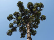 Araucaria. Tree ( angustifolia) coniferous environment green pine Royalty Free Stock Images