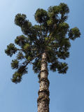 Araucaria. Tree ( angustifolia) coniferous nature Royalty Free Stock Photos