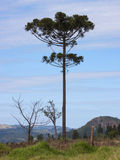 Araucaria. Tree ( angustifolia) in rural Tamarana County, State of Parana, Brazil Stock Photos