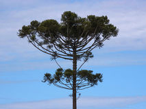 Araucaria. Tree ( angustifolia) in rural Tamarana County, State of Parana, Brazil Stock Photo
